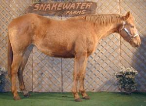 Gold champagne Quarter Horse mare