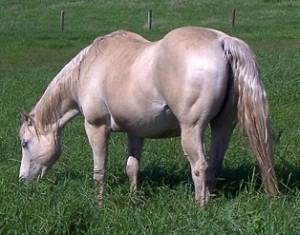 Grey champagne mare