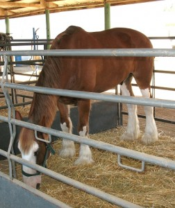 Chestnut Clydesdale horse