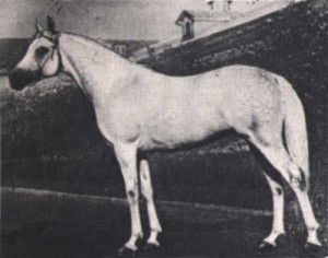 Nil Arabian stallion