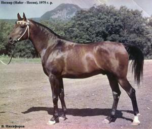 Pesniar Arabian stallion