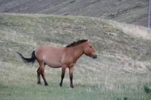 A Przewalski Horse in Mongolia