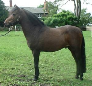 Eastern Shahida Caspian Horse