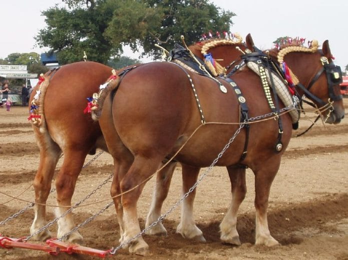 Pair of Suffolk Horses