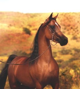 Thee Cyclone Arabian horse
