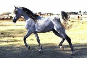 Sidi Exclusive Arabian horse
