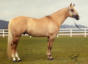 A dunalino Quarter Horse