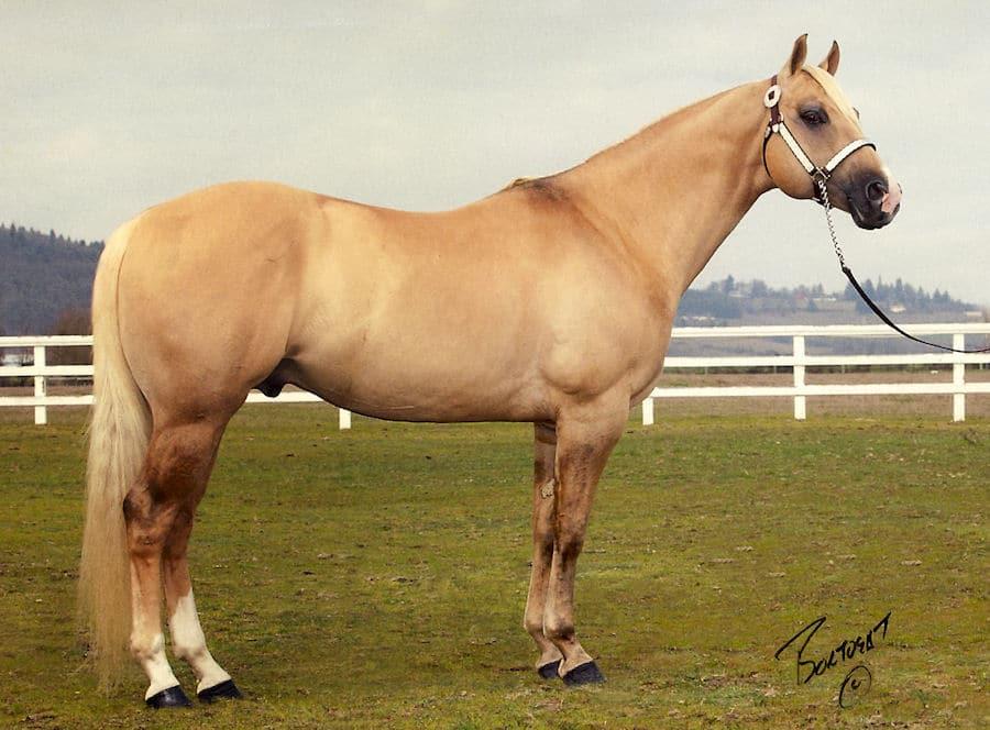 Major Hearts Desire, a dunalino Quarter Horse stallion. Photo courtesy of Circle P Ranch.