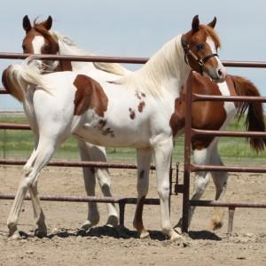 Trademark Flair Pintabian horse