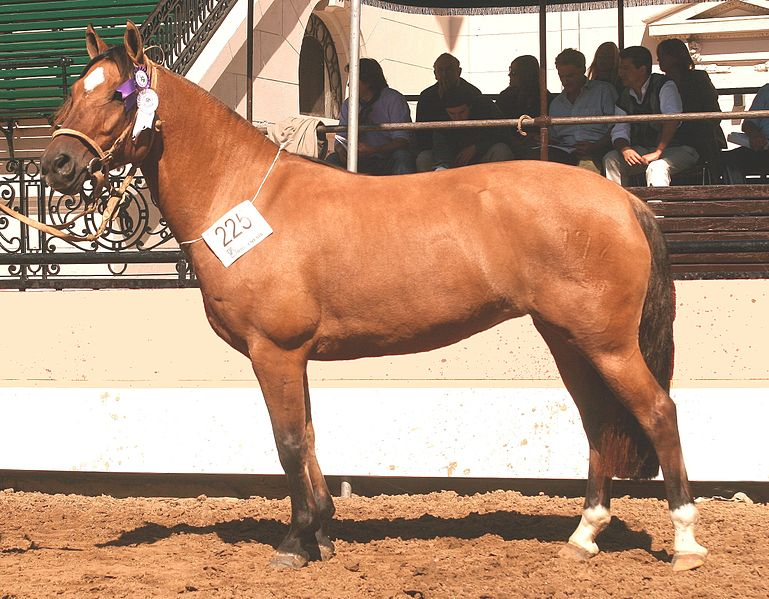 An Argentine Criollo mare with strong jennet type. Photo by Luciodec from the Wikimedia Commons.