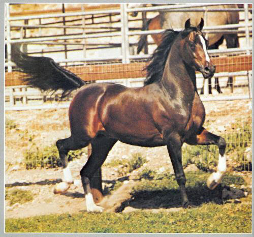 The Arabian stallion Huckleberry Bey, who sired foals after his death in 1992 thanks to artificial insemination and frozen semen.