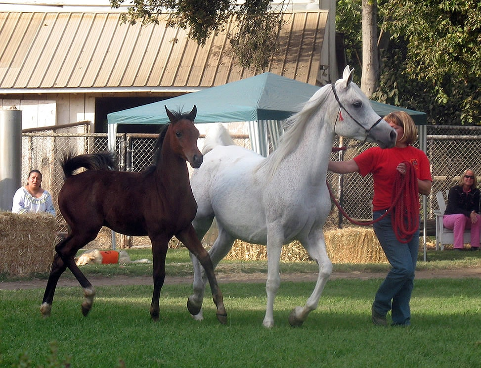 The Arabian mare Shaklana Fadjur with her 2010 foal by Fadjurs Prize.