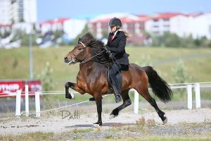 Icelandic Horse at flying pace