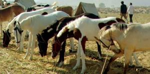 Marwari horses
