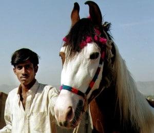 Marwari horses, photo by Rachel Saunders