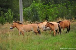 Przewalski Horses at Pripyat