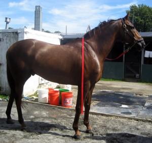 O'Malley Thoroughbred horse
