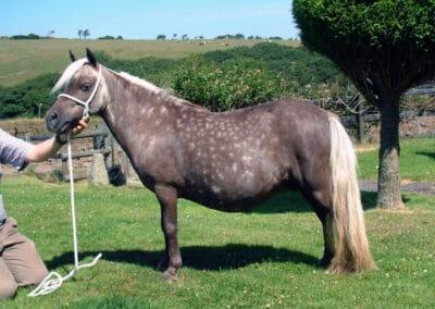 Silver dapple black Miniature Horse mare