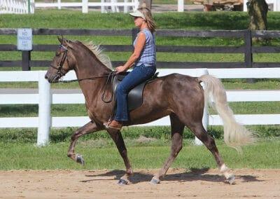 Silver dapple black Rocky Mountain Horse