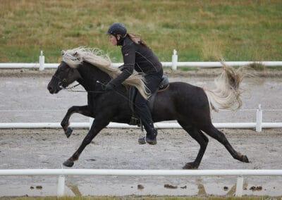 Silver dapple black Icelandic Horse
