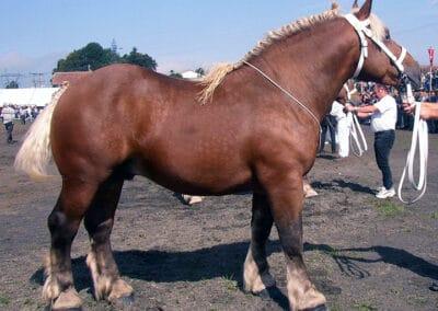 Silver dapple bay Comtois stallion