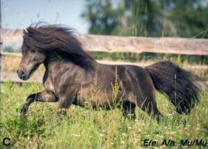 Dark bay mushroom pony
